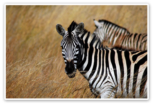 Zebras Budget Luxury Accommodation Pilanesberg Game Reserve Accommodation Booking